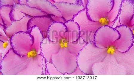 Close up of lilac colored African Violets flowers