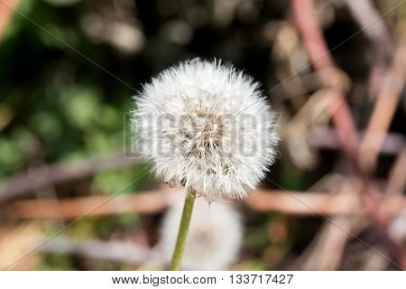 Taraxacum is a large genus of flowering plants in the family Asteraceae and consists of species commonly known as dandelion