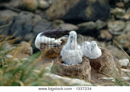Albatrosschicks
