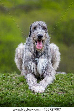 Irish Wolfhound lies on a green grass on a green background