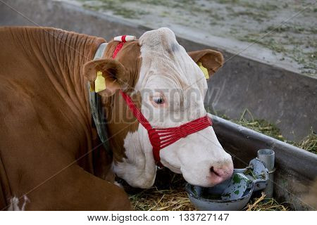 Simmental Cow With Drinking Bowl