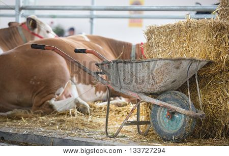 Wheelbarrow With Manure In Front Of Cows