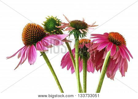 A cluster of echinacea flowers at different stages of development isolated on white. Echinacea flowers are more commonly known as Cone Flower. It is a common medicinal herb for stimulating the immune system.