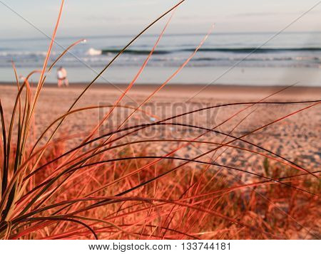 Early morning golden glow at papamoa beach Mount Maunganui New Zealand focus on grass blades.