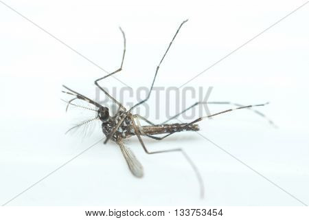 Macro Of Mosquito (aedes Aegypti) ,  Isolated On White Background