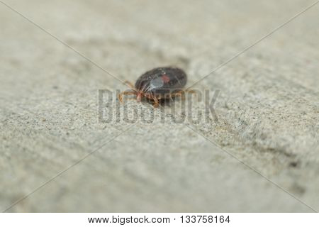 Macro Of Dog Ticks