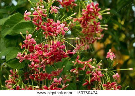 Closeup of Red Rangoon Creeper Flowers. Quisqualis indica. Combretum indicum. Chinese honeysuckle.