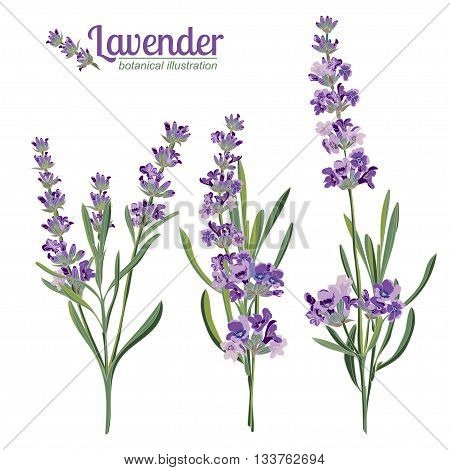 Lavender flowers elements. Botanical illustrations are drawn by hand poster