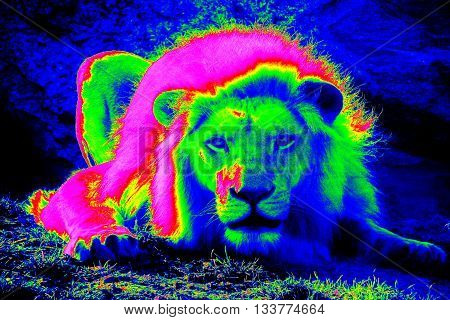 Infrared thermovision image of the lion lying in the wild showing range of surface body temperature and cold background