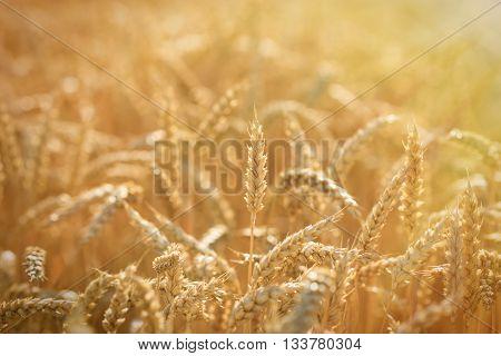 Golden wheat fields - rich harvest is closer and closer