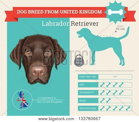 Labrador Retriever Dog breed vector infographics. This dog breed from United Kingdom