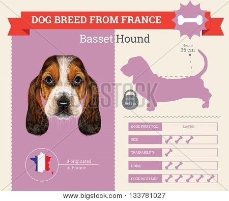 Basset Hound Dog breed vector infographics. This dog breed from France