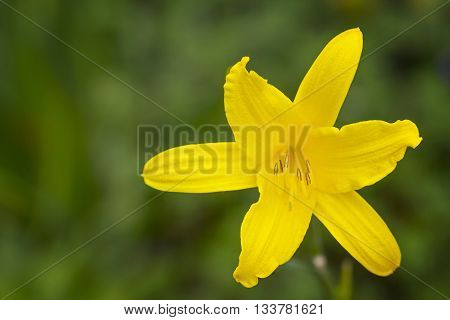 Beautiful Yellow Turks Cap Lily (Liliaceae) over green background