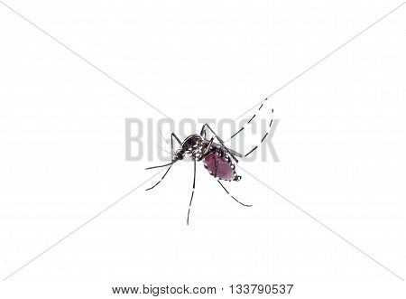 Aedes Aegypti. Close Up A Mosquito Sucking Human Blood,vector-borne Diseases,chikungunya.dengue Feve