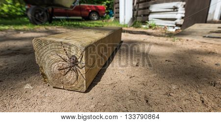 Large creepy looking spider, lies in wait.  The Dock spider of the Pisauridae family, (Dolomedes sp), hiding out of sight on a piece of 4x4 lumber on a sunny day.