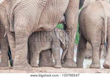 An elephant calf Loxodonta africana between its mothers legs. The mothers nipple is visible