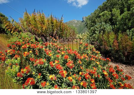 Colorful flowers in the Kirstenbosch botanical gardens, Cape Town, South Africa