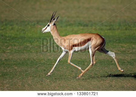 A springbok antelope (Antidorcas marsupialis) running, Kgalagadi, South Africa