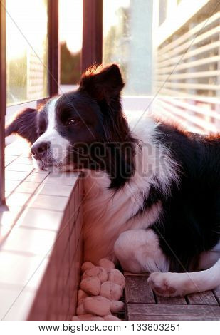 Border Collie Pet Dog At Sunset
