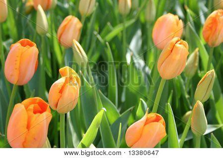 Orange tulips in a field of green