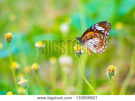 Beautiful Malay Tiger butterfly on a flower in the outdoor nature