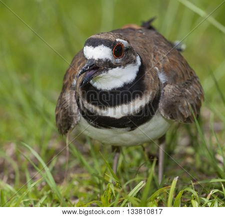 Killdeer expressing its concern the photographer is too close to its nest