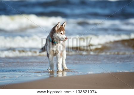 brown siberian husky puppy on a beach