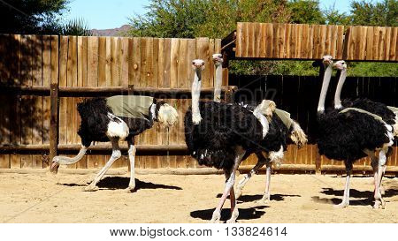 On an ostrich farm in South Africa, male ostriches with a black plumage and white feathers, Red Ostriches from Kenya