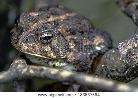 Brown toad close up sitting on a stick