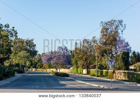 Drivei way to residential houses along Adolfo Street decorated with Purple Blue Jacaranda Camarillo Ventura county CA