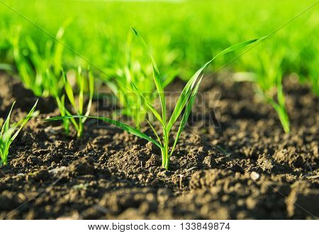 green shoots of wheat on the field