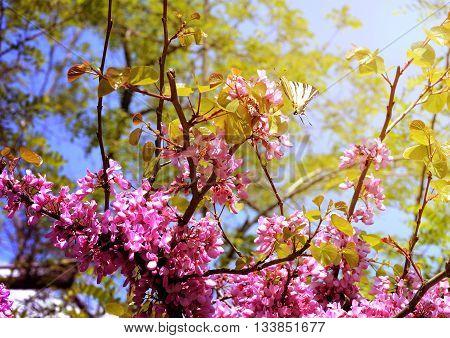 Close-up flowers of Cercis siliquastrum with papilio machaon at Crimeas parks