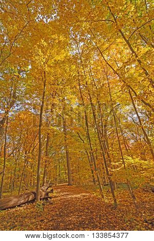 Fall Tree Canopy over a Secluded Path in Morton Arboretum in Lisle Illinois
