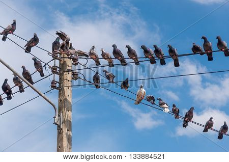 This is a picture of pigeons on electric poles .