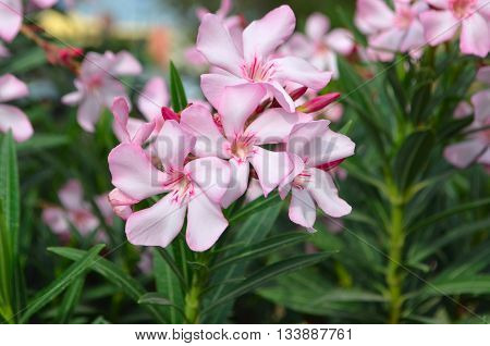 Pink oleander flowers natural bouquet closeup.Oleander - large evergreen shrub with branching stems brownish color , covered with rounded lenticels.