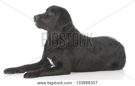 black labrador retriever laying down isolated on white background