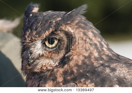 American owl Bubo virginianus with yellow eyes poster
