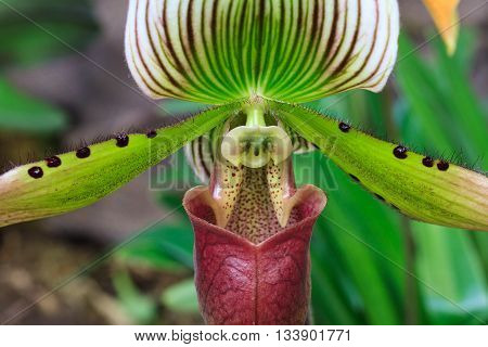 Macro - Cose up of an orchid cultivar Paphiopedilum Complex