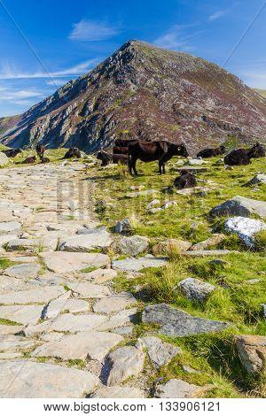 Stone flagged path with black cow and mountain Carnedd Llewelyn in the background. Snowdonia Gwynedd Wales United Kingdom