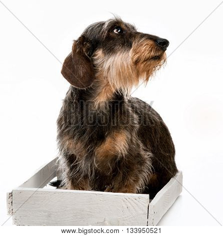 Longhair dachshund isolated on a white background