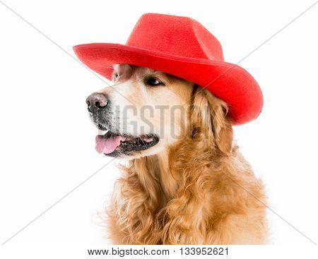 Retriever in hat isolated on a white background