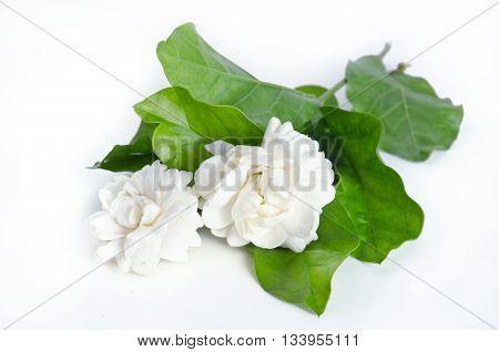 Jasmine (Other names are Jasminum Jasmine Melati Jessamine Jasmine Oleaceae) flowers isolated on white background