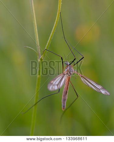 mosquito nematocera on grass on green background