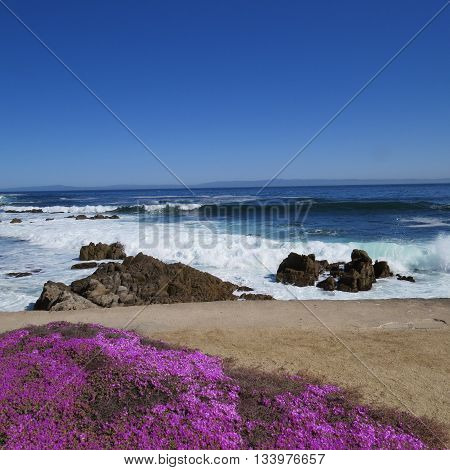 This is an image of ice plants and the Pacific Ocean taken in Pacific Grove, California, U.S.A.