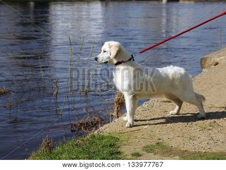 white dog golden retriever with black nose on a leash stares at something on the riverfront