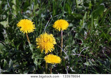 a few beautiful wild yellow flowers dandelions on green grass closeup