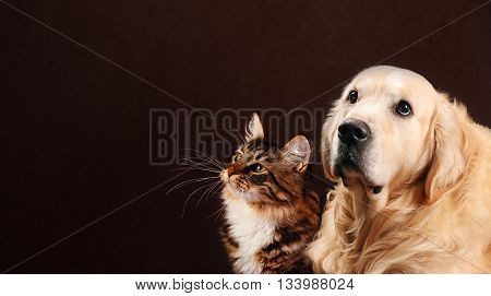 Cat and dog, siberian kitten and golden retriever looks at left.