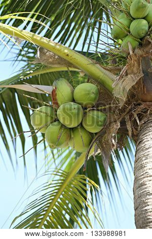 cocoanut on coconut tree in garden ThailandThis plant of palm and found throughout in seaside tropical.