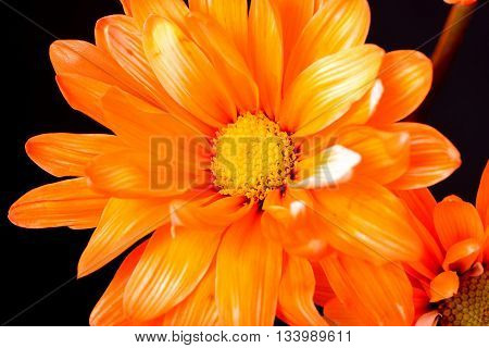 Orange daisy macro isolated over a black background