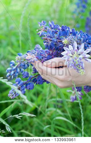 Woman holding a bouquet of field lupine flowers in her hands. Summer wild flowers.